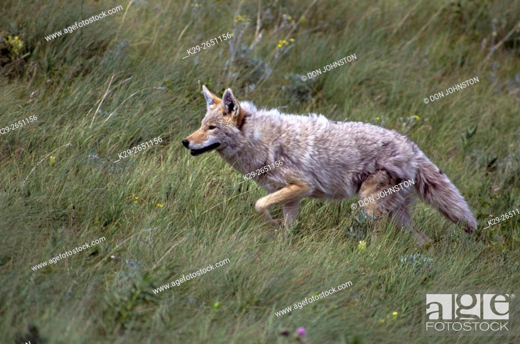 Imagen: Coyote (Canis latrans) Hunting in foothills grassland, Waterton Lakes National Park, AB, Canada.