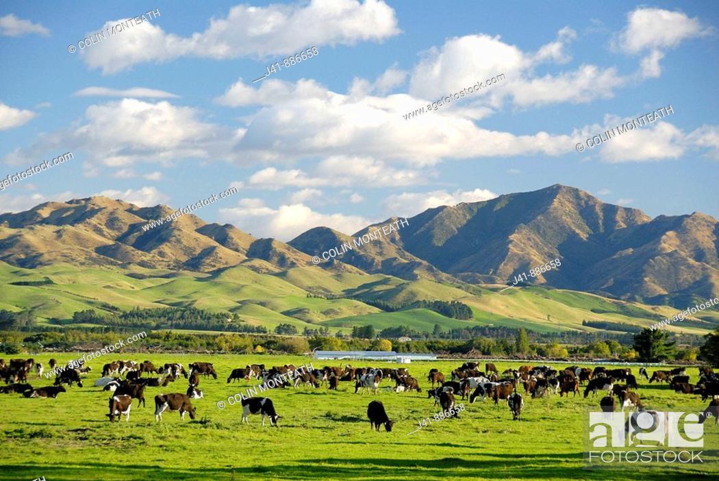 Imagen: Dairy farming Culverden North Canterbury New Zealand.