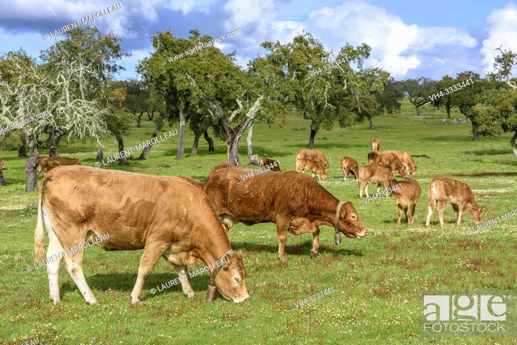 Stock Photo: Cows grazing in a Cork Oak Dehesa, Evora District, Alentejo Region, Portugal, Europe.