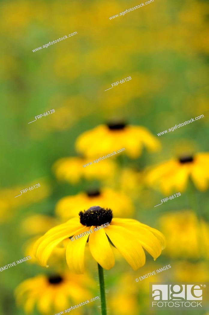 Stock Photo: Rudbeckia.