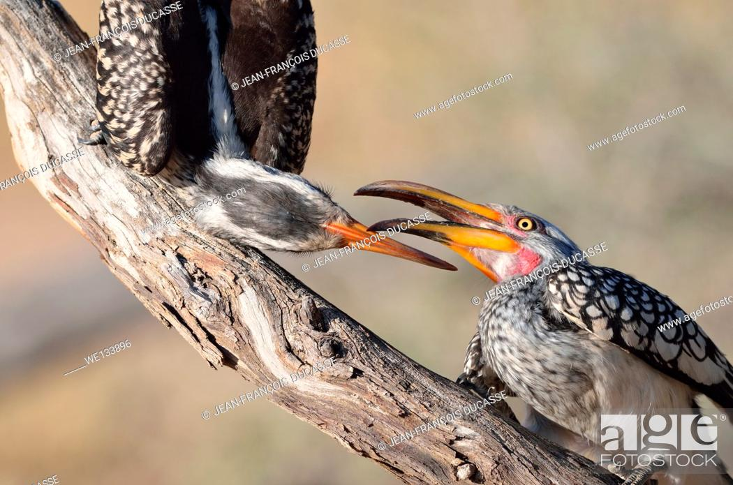 Stock Photo: Southern Yellow-billed Hornbills (Tockus leucomelas), fighting, Kgalagadi Transfrontier Park, Northern Cape, South Africa, Africa.