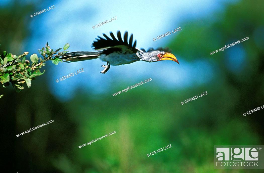 Stock Photo: YELLOW BILLED HORNBILL tockus flavirostris, ADULT IN FLIGHT, KENYA.