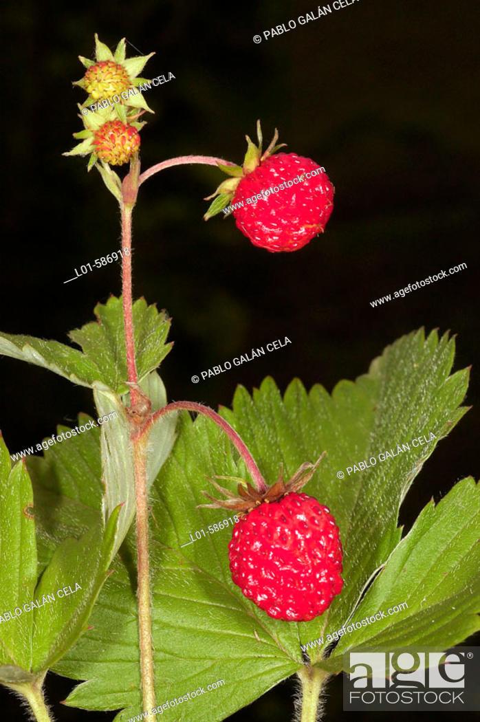 Imagen: Wild strawberriees (Fragaria vesca).