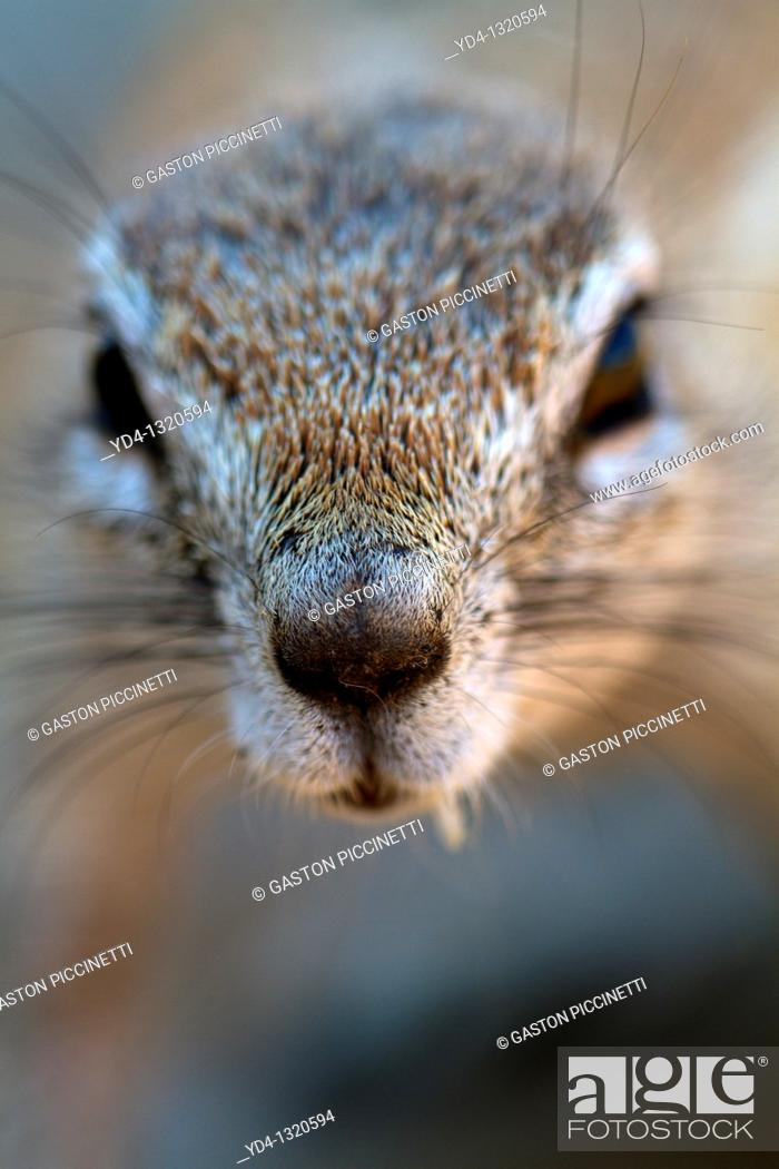 Stock Photo: Cape ground Squirrel Xerus inauris, Kgalagadi Transfrontier Park, Kalahari desert, South Africa.