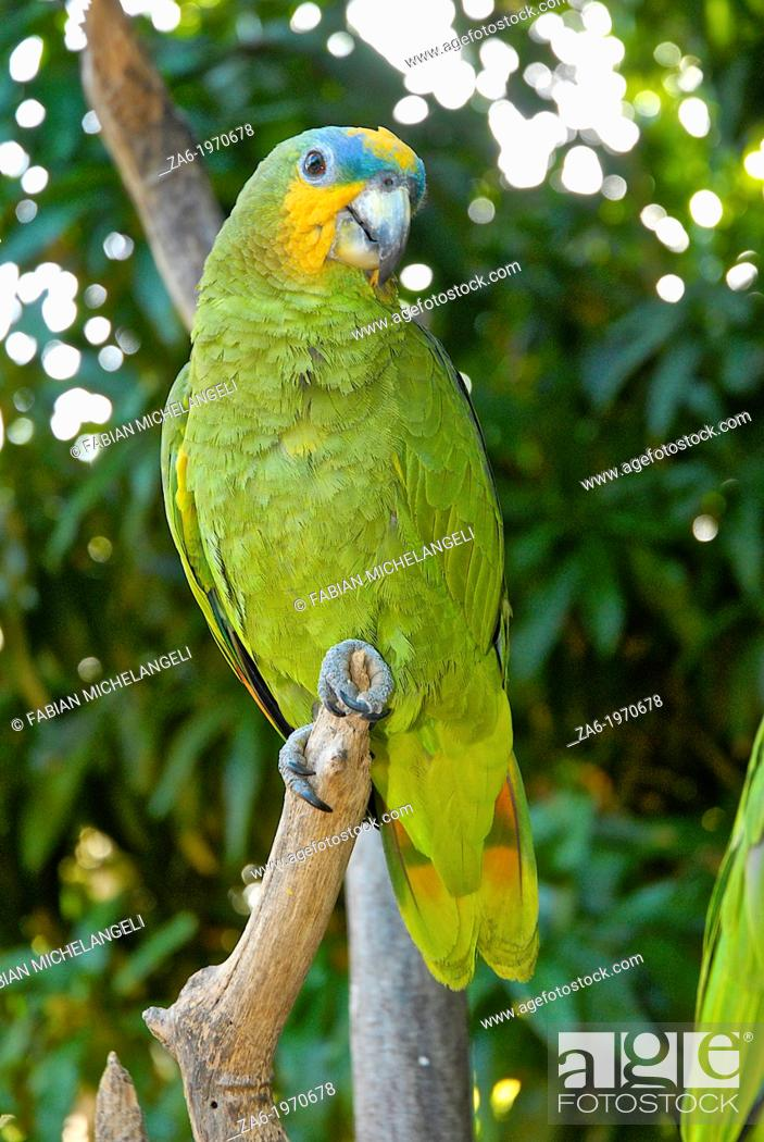Stock Photo: Orange-winged Amazona parrot (Amazona amazonica), Margarita Island.