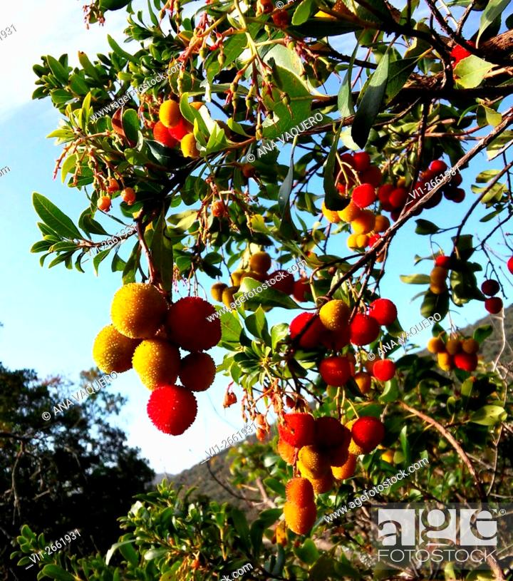 Stock Photo: Strawberry tree fruits, Zarza de Montánchez, Extremadura, Spain.