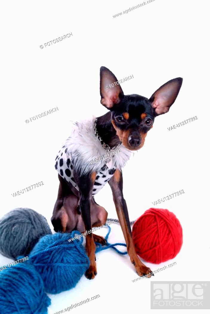 Stock Photo: companion, pinscher, house pet, canines, domestic, miniature pinscher.
