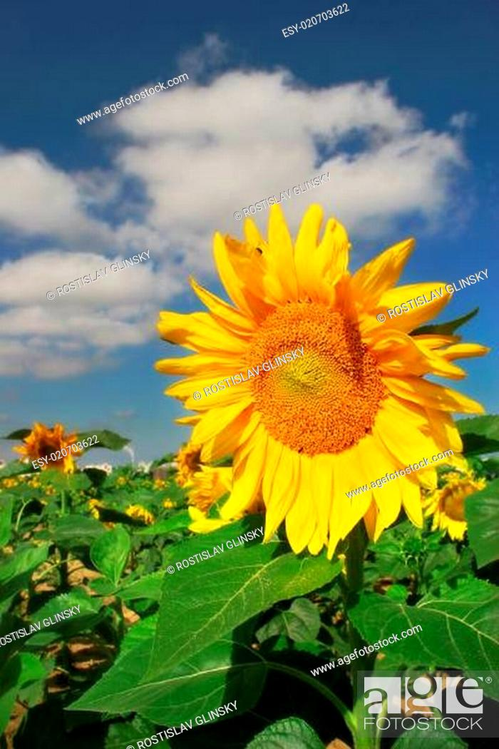 Stock Photo: Vertical oriented image of yellow sunflower on the field under blue sky with whi.