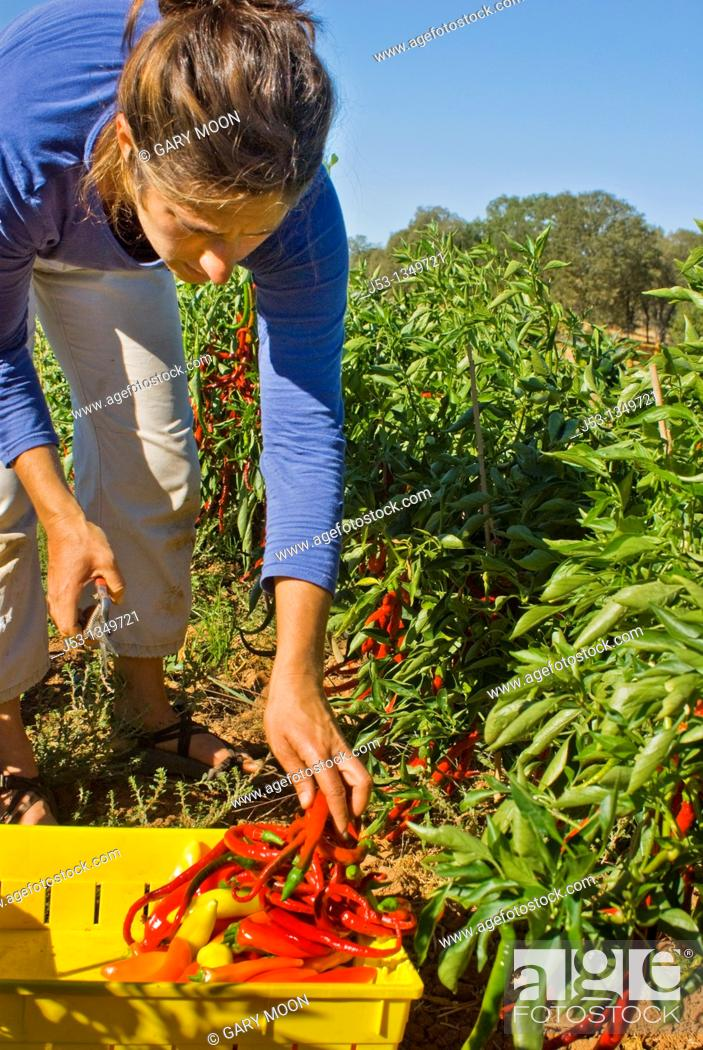 Stock Photo: Young woman picking peppers on small organic farm, Nevada City, California.