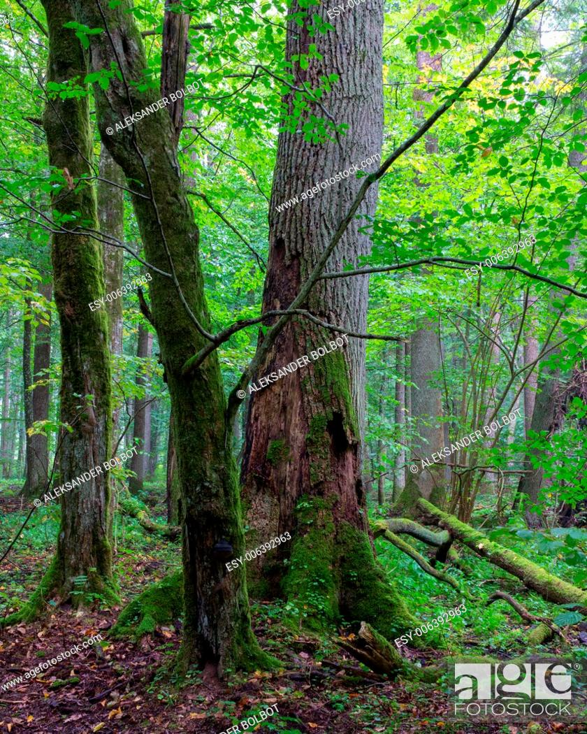Stock Photo: Group of old trees and old natural deciduous stand of Bialowieza Forest in background.