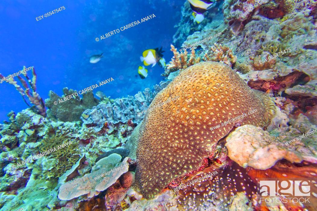 Stock Photo: Boulder Coral, Reef Building Coral, Stony Coral, Branching Coral, Bunaken National Marine Park, Bunaken, North Sulawesi, Indonesia, Asia.