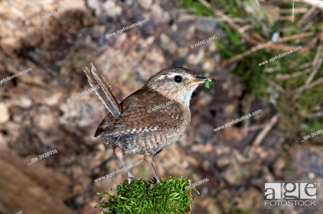 Stock Photo: Wren (Troglodytes troglodytes) with food for young birds, Baden-Württemberg, Germany.