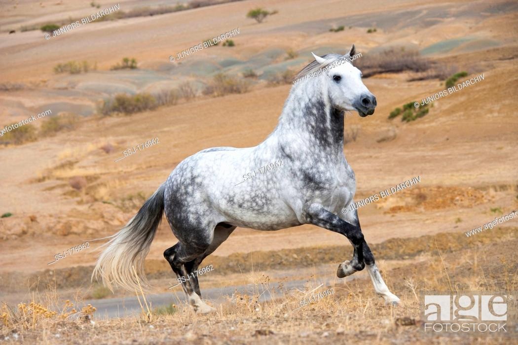 Arab Barb Dappled Grey Stallion Galloping In The Desert Stock Photo Picture And Rights Managed Image Pic Ssj 176962 Agefotostock