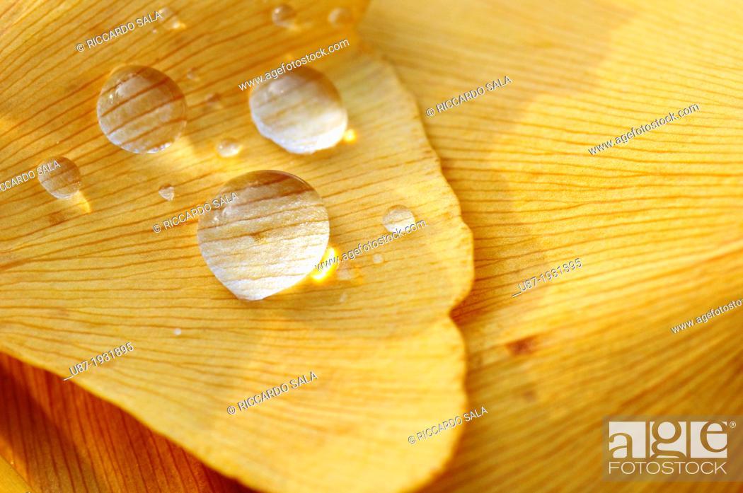 Stock Photo: Italy, Lombardy, Park, Ginkgo Ginkgo Biloba Leaves.