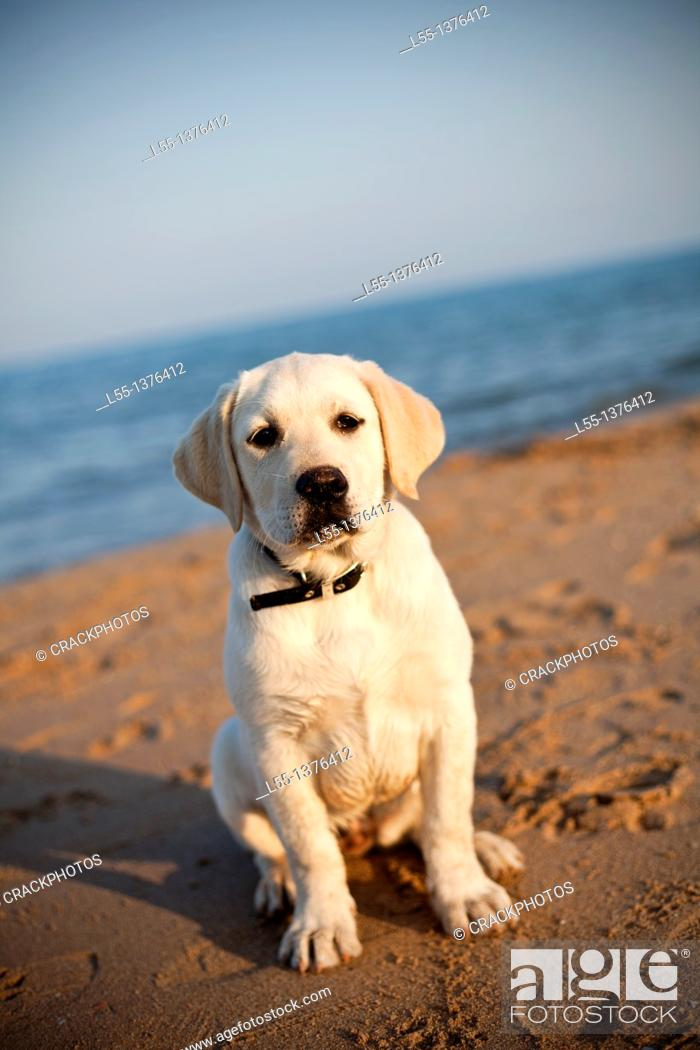 Stock Photo: Labrador retriever.