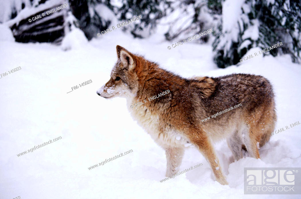 Stock Photo: Coyote (Canis latrans), captive/controlled, male. USA.