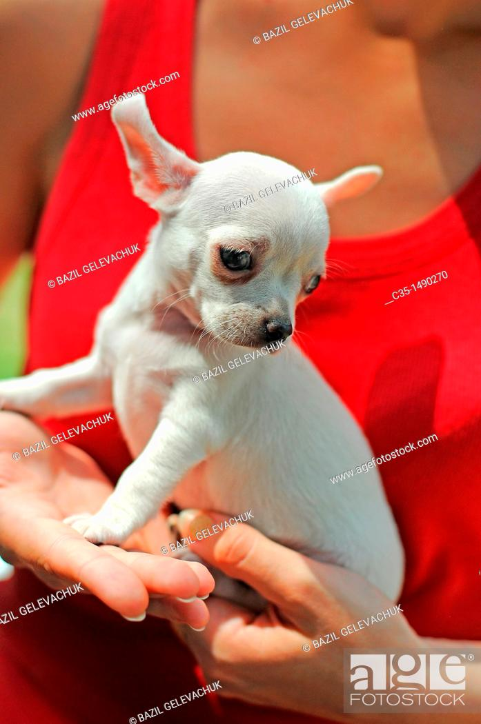 Stock Photo: Dog Chihuahua Puppies.