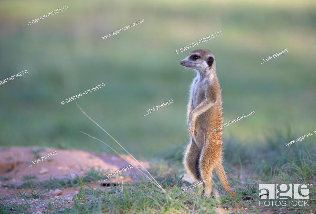 Stock Photo: Suricate (Suricata suricatta), watching. Always alert to the possible attack of a predator. While watching the rest of the group is dedicated to hunt all kinds.