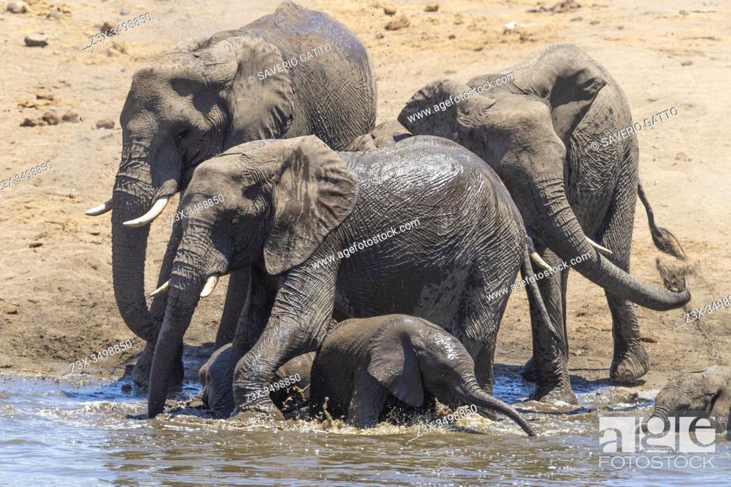 Stock Photo: African Bush Elephant (Loxodonta africana), a herd taking a bath, Mpumalanga, South Africa.