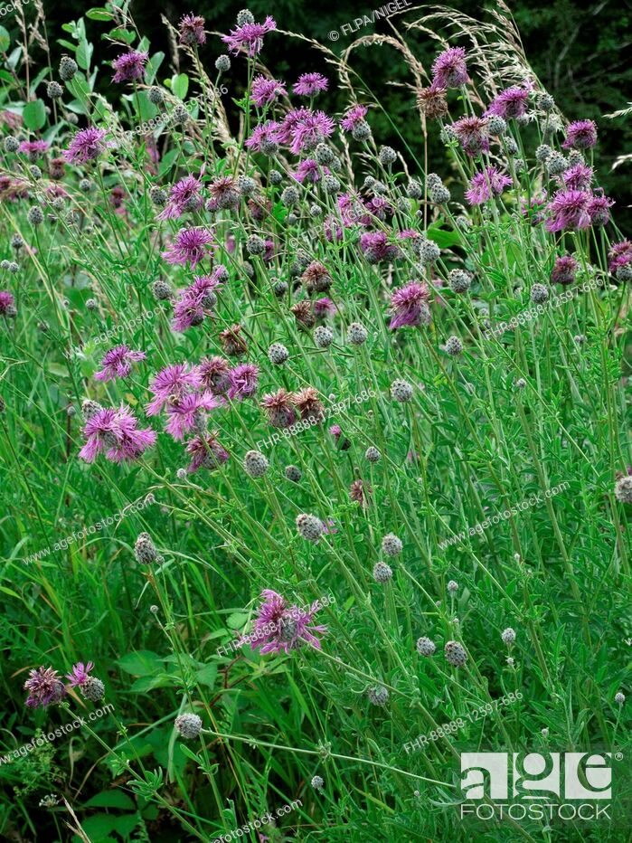 Stock Photo: Greater knapweed, Centaurea scabiosa, flowering plants on chalk downland.