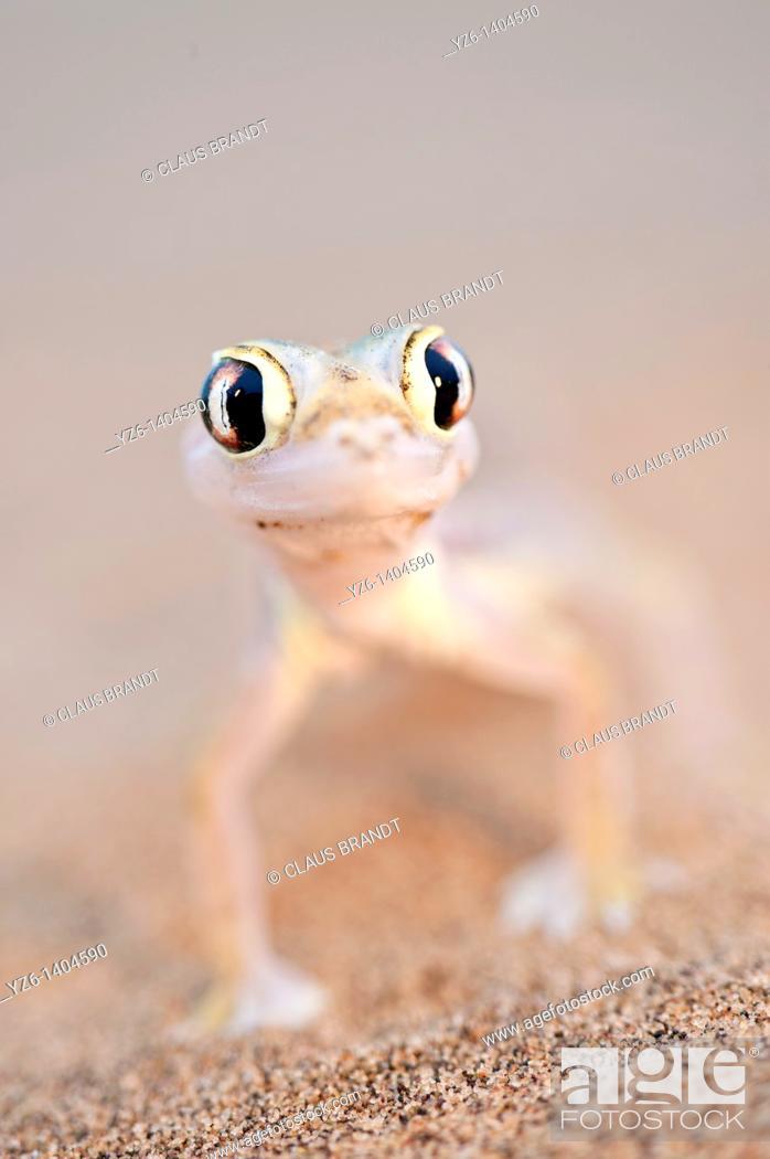 Stock Photo: Namib Sand Gecko (Pachydactylus rangei) on sand dunes near Swakopmund, Namibia.