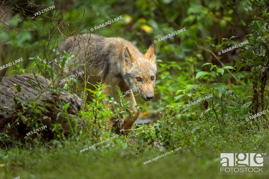 Imagen: European Gray Wolf, Canis lupus lupus, Young Wolf, Germany.