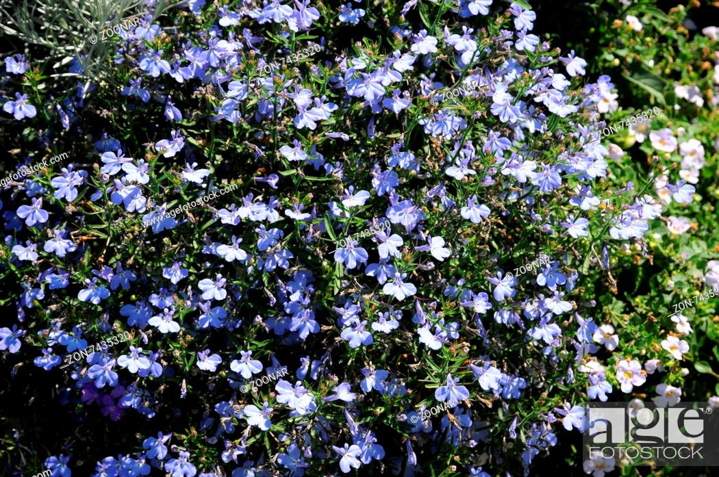 Lobelia Erinus Techno Light Blue Stock Photo Picture And Rights