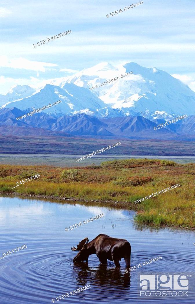 Stock Photo: Moose (Alces alces), Mount McKinley, Denali National Park. Alaska, USA.