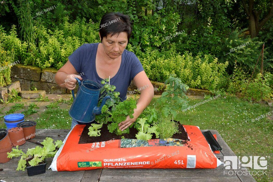 Stock Photo: Planting sack of potting compost with tomatoes, basil, parsley, majoram, rosemary, lettuce / (rosmarinus officinalis), (ocimum basilicum).