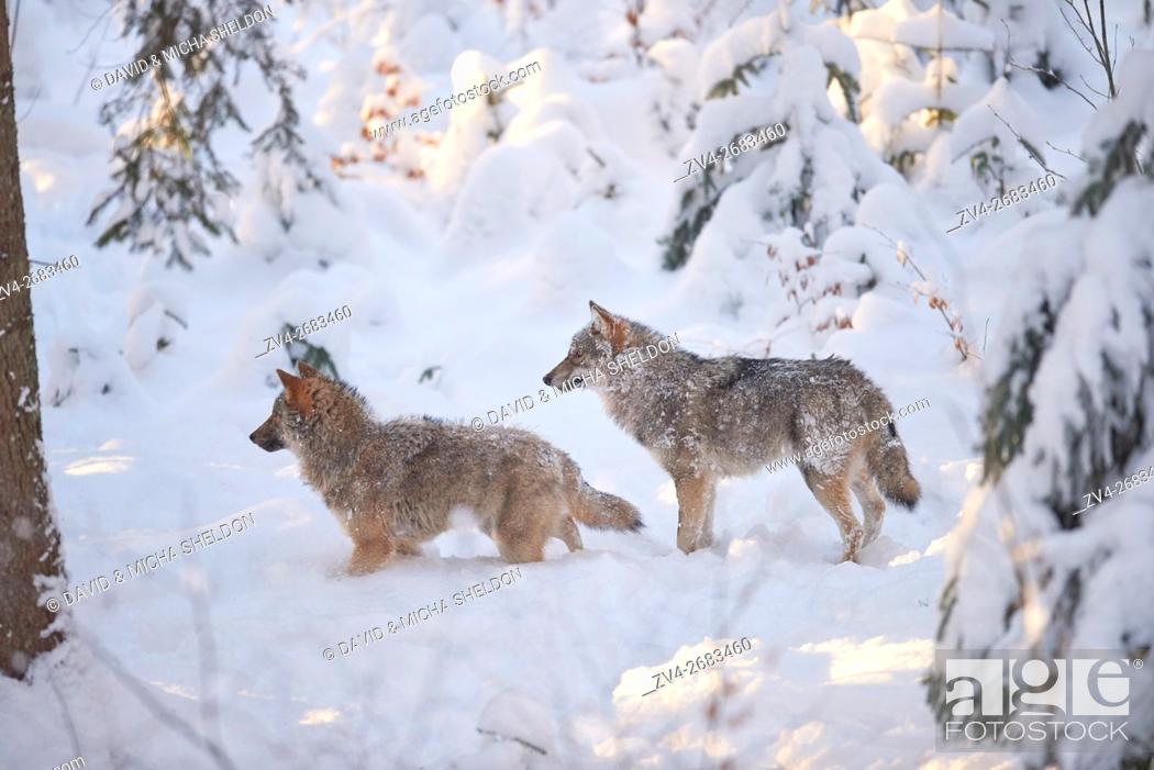 Stock Photo: Close-up of two Eurasian wolves (Canis lupus lupus) in a snowy winter.