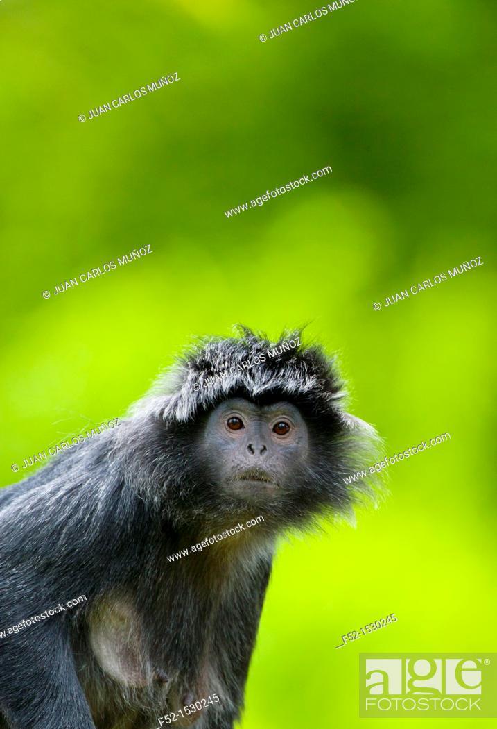 Stock Photo: Javan surili (Presbytis comata).