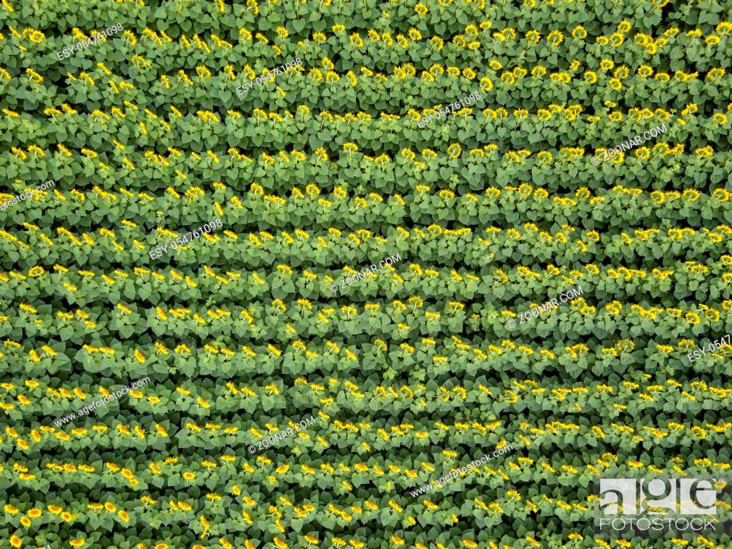Stock Photo: Bird's eye view from drone to agricultured field of blooming sunflowers at summer sunset. Top view. Texture of plant background.