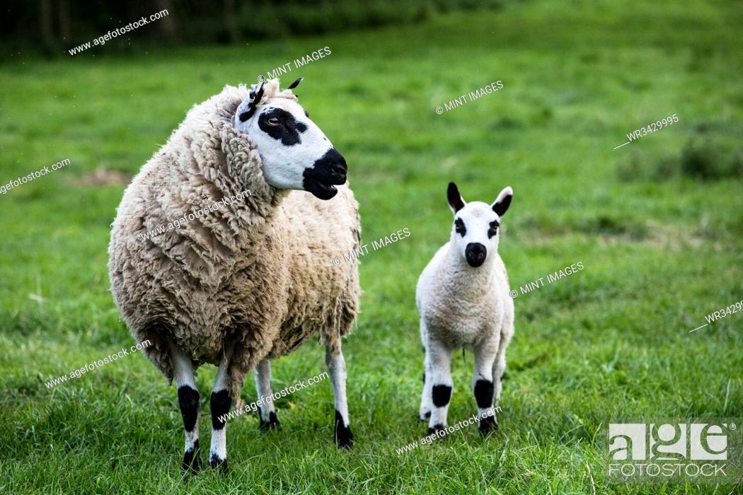 Stock Photo: Kerry Hill sheep and lamb on a pasture on a farm.