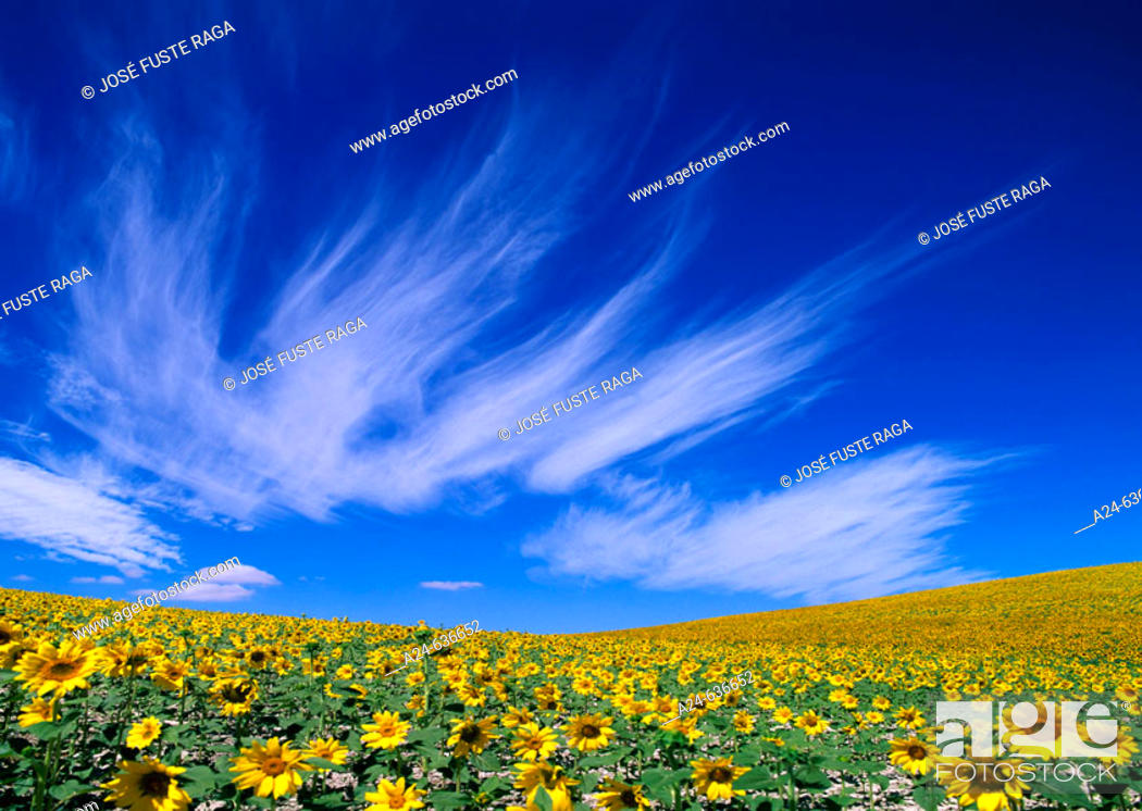 Stock Photo: Sunflowers field. Andalucia, Spain (April 2007).