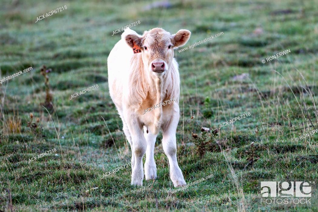 Stock Photo: Charolais calf, Barrie Island, Manitoulin Island, Ontario, Canada.