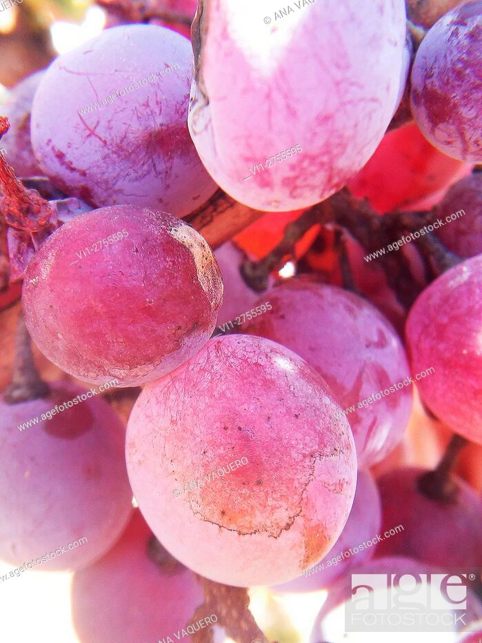 Stock Photo: Bunch of red grapes, Miajadas, Cáceres province, Extremadura, Spain.