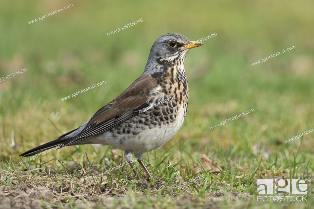 Stock Photo: Fieldfare ( Turdus pilaris ), adult in breeding dress, perched on the ground, in a meadow, grass, wildlife, Europe.