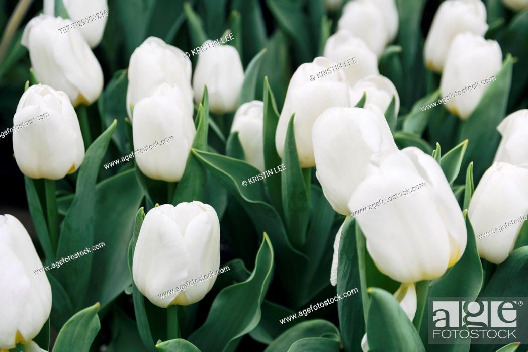 Imagen: White tulips.