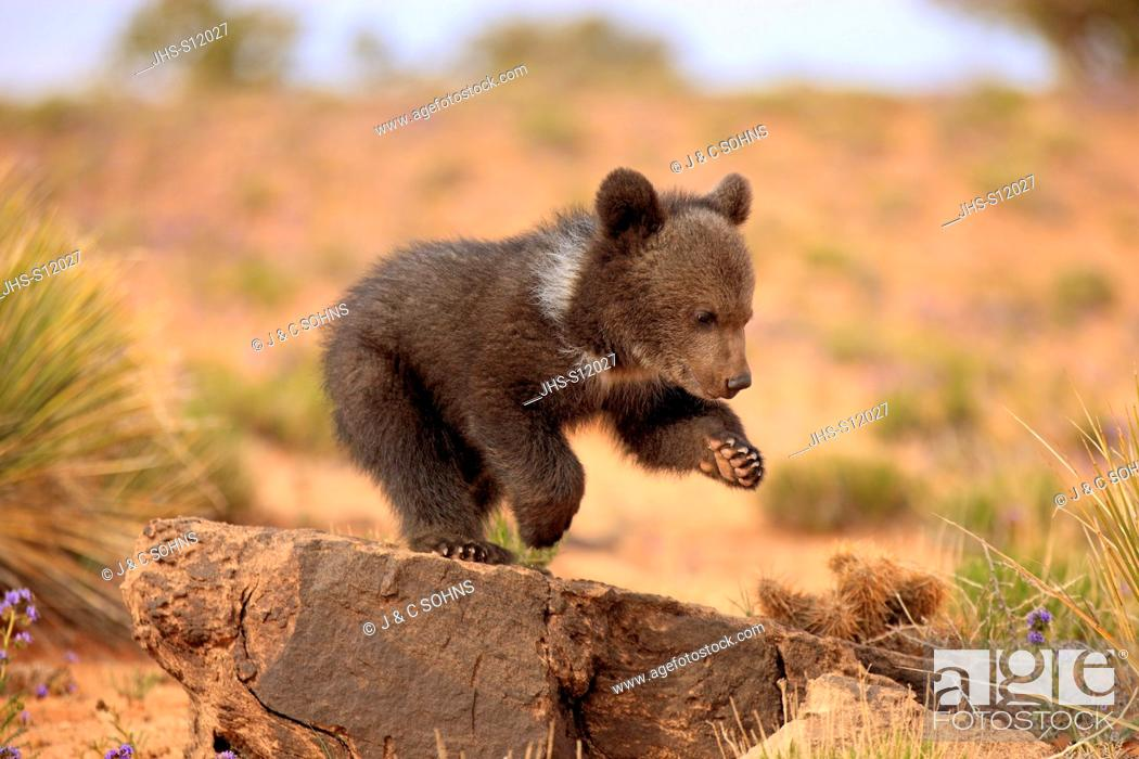 Stock Photo: Grizzly Bear, (Ursus arctos horribilis), Monument Valley, Utah, USA, three month old.