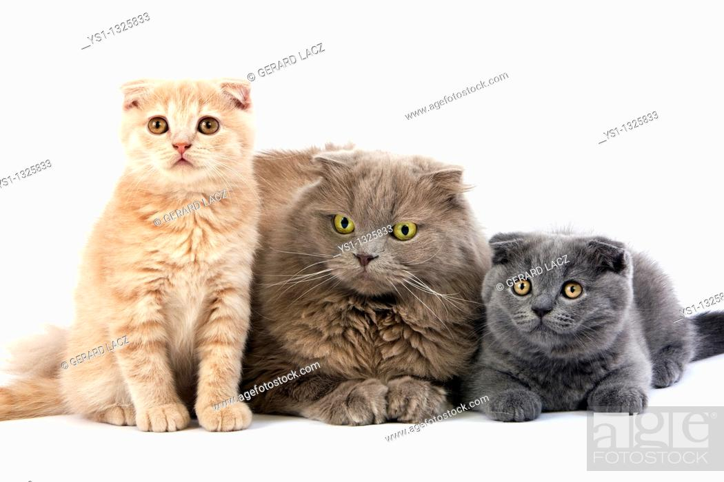 Stock Photo: LILAC SELF HIGHLAND FOLD FEMALE WITH BLUE AND CREAM SCOTTISH FOLD KITTENS.