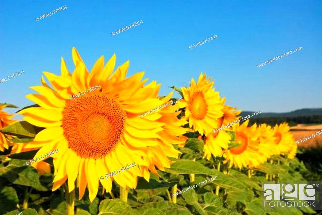 Stock Photo: Blüte der Sonnenblume.