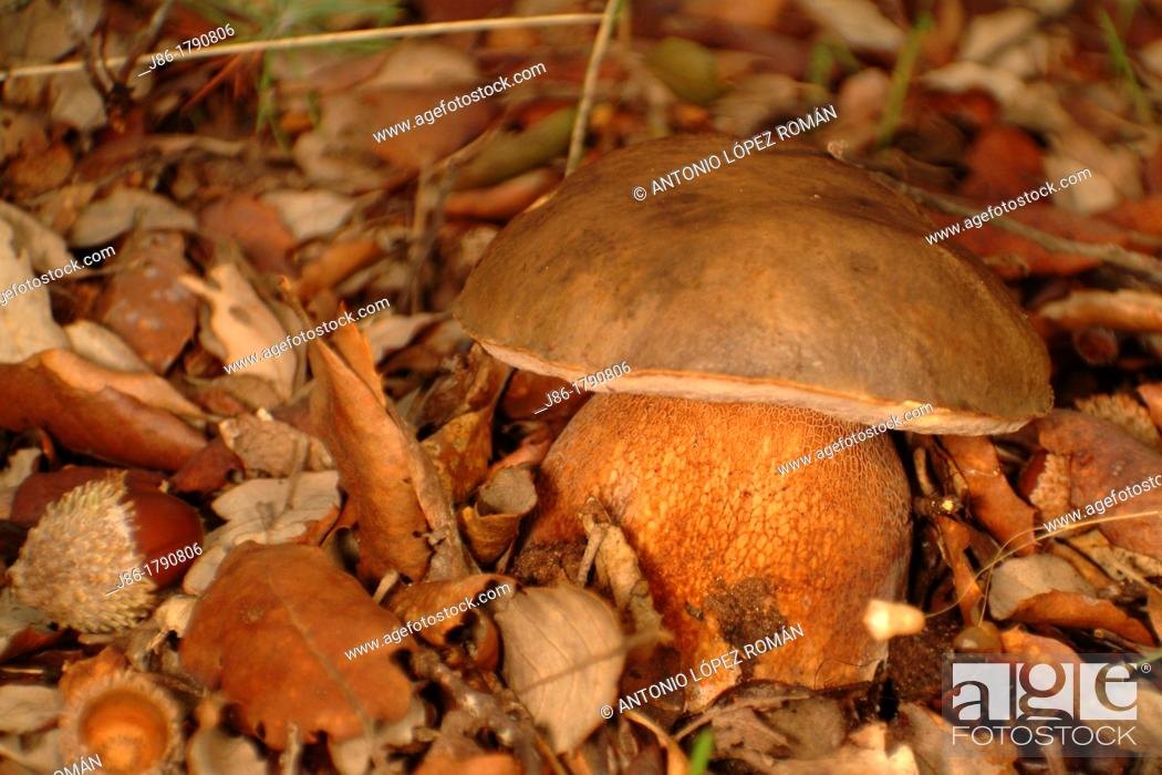 Stock Photo: edible mushroom  Porcini aka Penny Bun or Cep Boletus edulis.