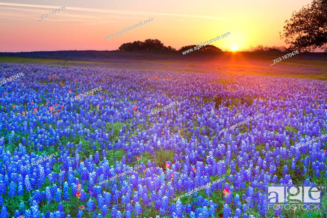 Stock Photo: Early morning sunrise against a field of Texas bluebonnets, Lupininus texensis, Texas, USA.