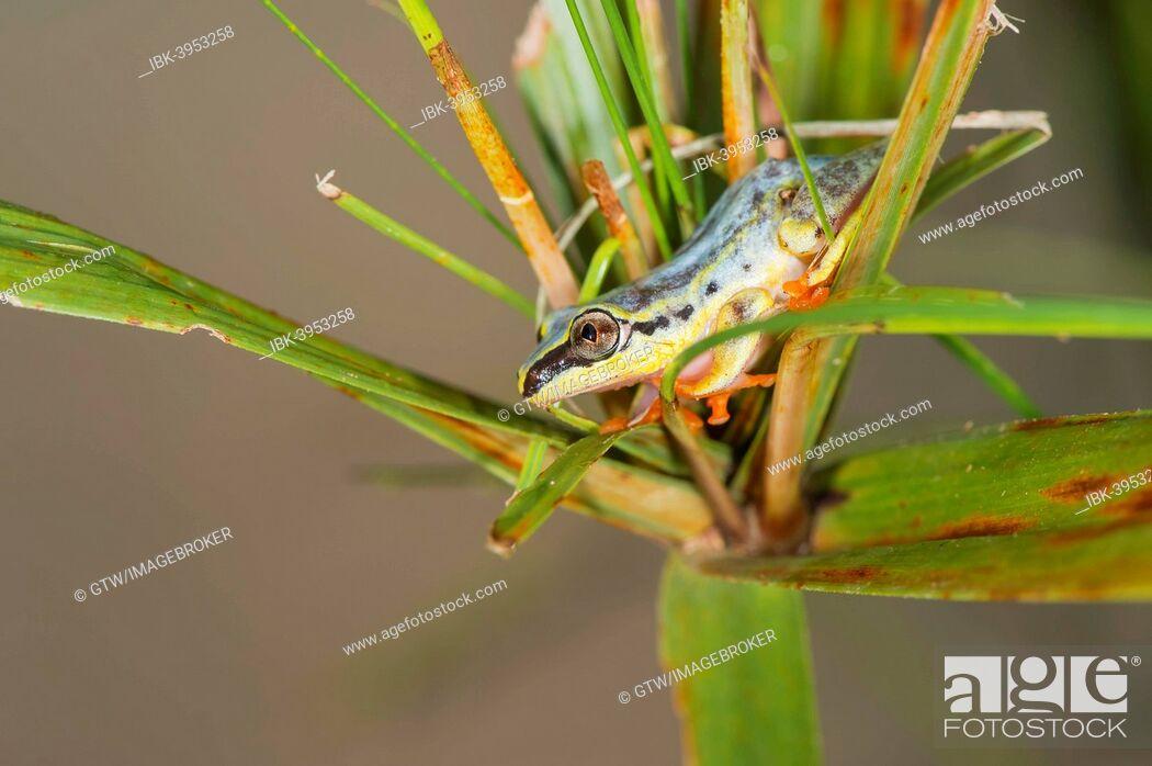 Imagen: Blue-back Reed Frog (Heterixalus madagascariensis), Madagascar.
