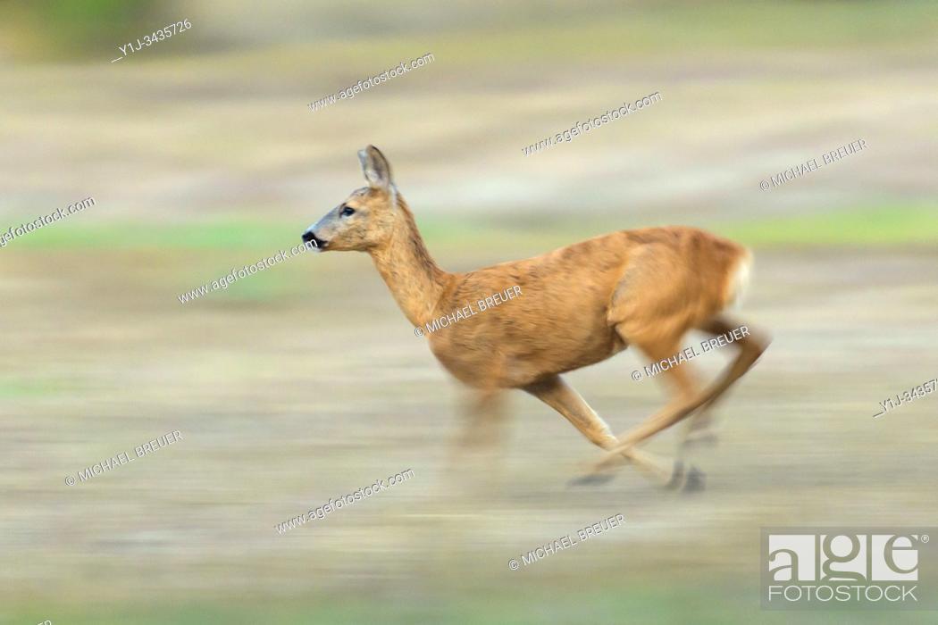 Stock Photo: Running Western Roe Deer (Capreolus capreolus), Doe, Hesse, Germany, Europe.