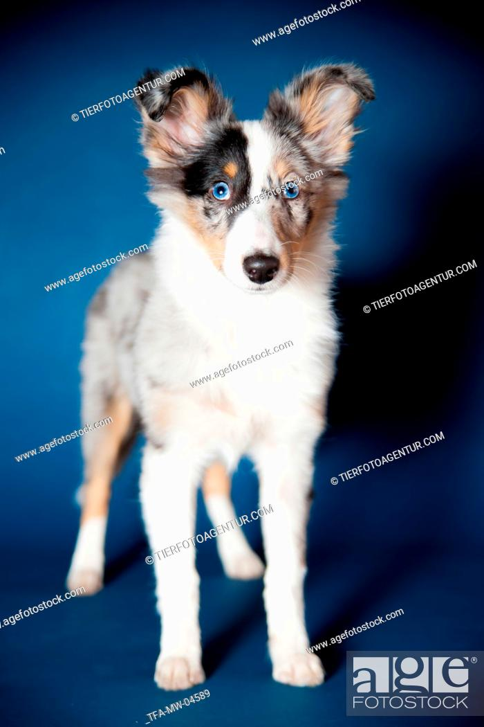 Stock Photo: young Shetland Sheepdog.