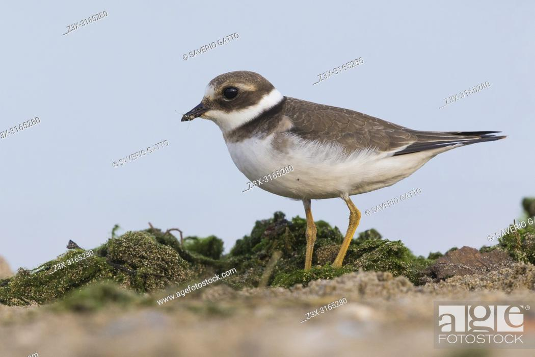 Stock Photo: Ringed Plover (Charadrius hiaticula), juvenile standing on the ground.