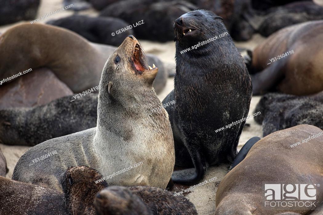 Stock Photo: South African Fur Seal, arctocephalus pusillus, Females at Cape Cross in Namibia.