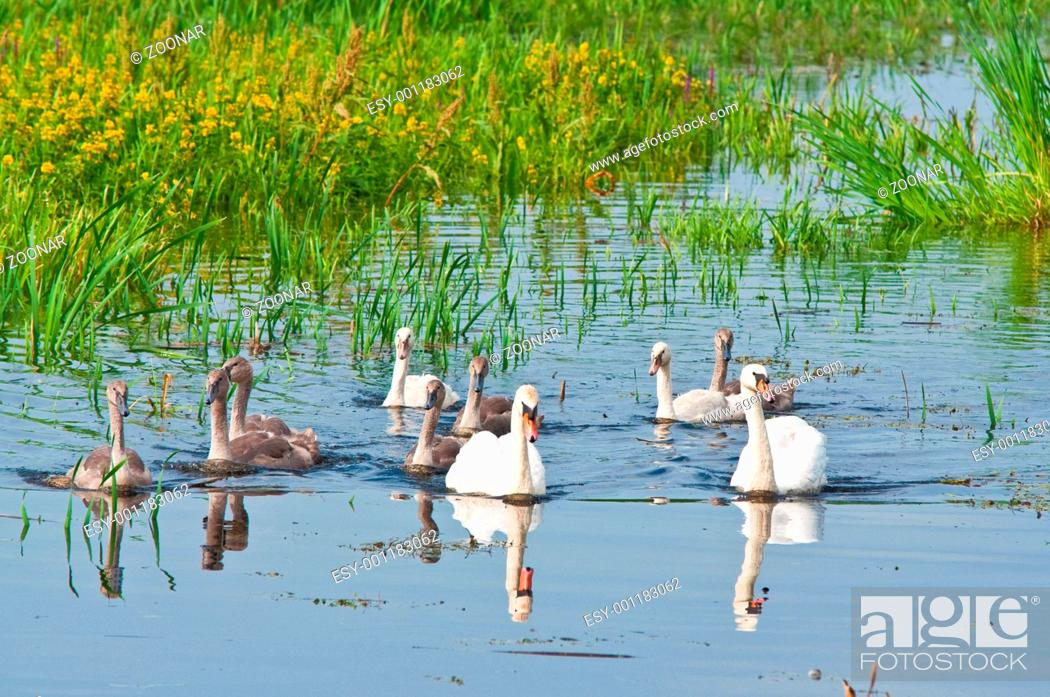 Stock Photo: swans family in water.