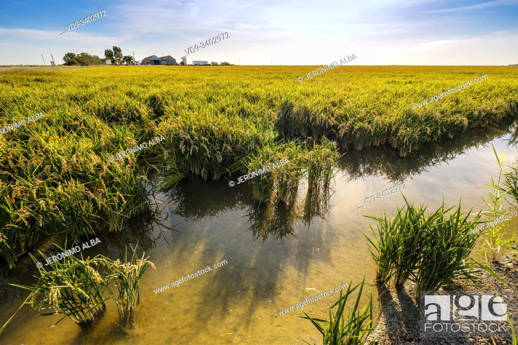 Stock Photo: Rice fields in the Guadalquivir river delta near Los Palacios y Villafranca, Sevilla province. Southern Andalusia, Spain. Europe.